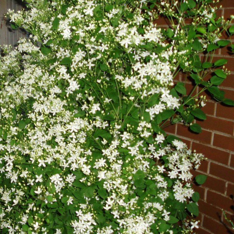 Вьющееся растение с белыми цветами фото